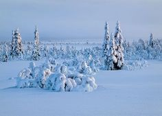 Czapy śniegu na drzewach