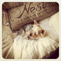 my Lola bear, cozy little yorkie. :)