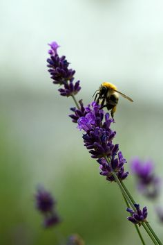 the lavender and the bee