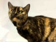 COCO - A1097840 - - Brooklyn  Please Share:***TO BE DESTROYED 12/06/16*** COCO LOVES AFFECTION- IS GENTLE WITH KIDS, PLAYS WITH TOYS AND FOLLOWS OWNER AROUND – SUPER SWEET LOVING KITTY NEEDS NEW PURRSON TONIGHT! -  Click for info & Current Status: http://nyccats.urgentpodr.org/coco-a1097840/