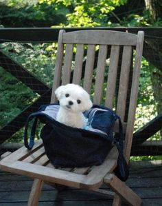 Maltese on a chair