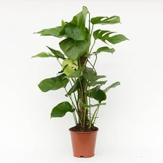 Buy swiss cheese plant Monstera deliciosa: Delivery by Waitrose Garden in association with Crocus