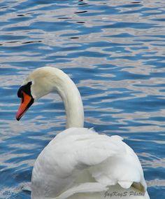 a   Swan!!!