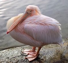 Pink Pelican in St. James's Park - I had to check to make sure they were real! Pink Animals, Nature Animals, Animals And Pets, Cute Animals, Exotic Animals, Most Beautiful Birds, Pretty Birds, Love Birds, Beautiful Creatures