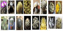 O cacto de pera espinhosa (Opuntia ficus-indica) é útil na paisagem para o impacto dramático, adicionando uma sensação do sudoeste a toda a ...