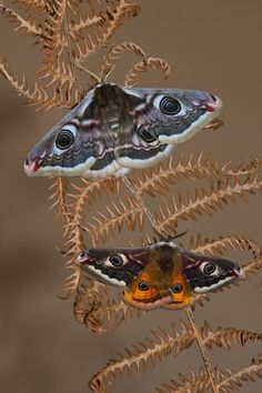 Emperor moths, by Richard Bowler.