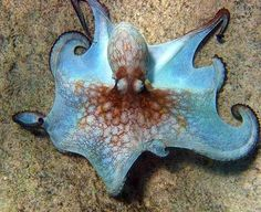 Coconut Octopus. Awesome peacock blue colors with black edges on its nontraditional shaped arms, and spotted rust red patterns. -DdO:) - http://www.pinterest.com/DianaDeeOsborne/underwater-glory/ - lovely underwater sea creatures pin via Tina field.