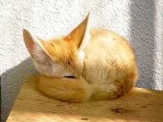 """As Rachel Zoe would say, """"I DIE."""" Sleeping fennec fox (via hamapenguin) Fennec Fox, Cute Baby Animals, Animals And Pets, Cat Vs Dog, Foxes Photography, Cute Fox, Cute Animal Pictures, Cute Creatures, Love Pet"""