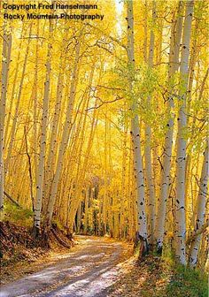 Last Dollar Road near Telluride, Colorado. Aspen lined road near Telluride, CO Mountain Photography, Nature Photography, Photography Tips, Beau Site, Aspen Trees, Photos Voyages, Mellow Yellow, Bright Yellow, Nature Pictures