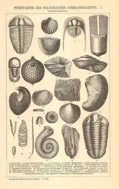 1896 Original Antique Engraving of Fossils from the Paleozoic Era, Cambrian, Silurian and Devonian Period