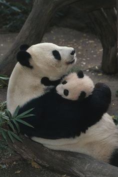A momma panda bear hugging her baby. Panda's have one baby at a time. This is why pandas are protected! Cute Baby Animals, Animals And Pets, Funny Animals, Baby Pandas, Giant Pandas, Animals With Their Babies, Wild Animals, Mother And Baby Animals, Panda Love