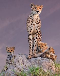 Family portrait from Africa - Colour version of my previous black and white portrait of a cheetah and her cubs in South Africa | by arun Mohanraj on 500px