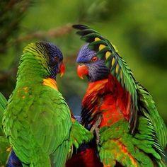 Notice the back coloration on the bird on the left Parakeets, Cockatiel, Parrots, Love Birds, Beautiful Birds, Amazon Birds, Colourful Birds, Australian Birds, Conure
