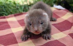 Adorable angora ferret kit ☺️