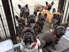 French Bulldog Party!