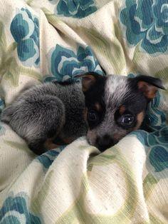 Blue Heeler Puppy (Australian Cattle Dog)