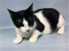 **FIV POSITIVE** **PREGNANT** Owner has had Snow for 2 months and is surrendering her along whit her kittens because they are unable to care for them. She was pregnant but they aborted the pregnancy. SNOW also tested positive for FIV. SNOW needs a new home asap.