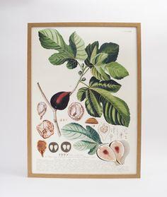 Emily simpson slemily on pinterest botanical fig print fandeluxe Gallery