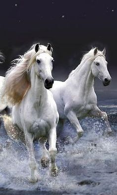 Pretty white horses running in the night time surf and waves, enhanced photo.