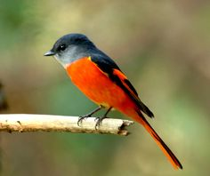 Grey-chinned Minivet - from the central Himalayas south to Borneo.