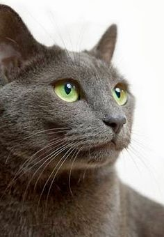 Health Problems in Russian Blue Cats Click the picture to read