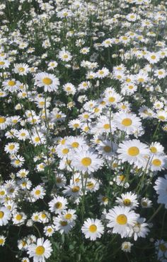 Daisies in the sun