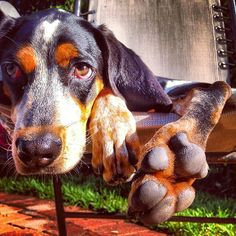 blue tick coonhound