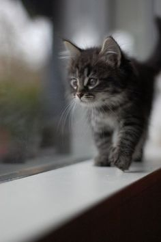 Little Maine Coon Kitten picture.Click the picture to read more