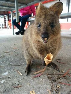 And not only do the smiliest, happiest creatures on Earth feel your pain, but they have ways to soothe it… | Look At These 7 Happy Quokkas (And Rejoice)