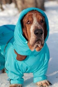 Basset hound in a hoodie; this may look mean but it's probably a good idea. Their ears are sensitive. I used a scarf to hold up my guy's ears when he ate too
