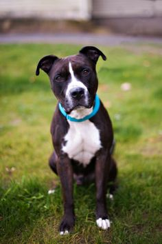 #NewYork ~ Handsome Lucky came to us when his previous family lost their home to a house fire. Lucky is a very sweet & affectionate boy. He loves going for walks & running around in our play yard. He's good w/ some dogs & would prefer an adult  home w/ no cats. He needs a loving home & looks forward to you meeting him at the SPCA of WESTCHESTER  590 N State Rd  #BriarcliffManor NY 10510  Ph 914-941-2894