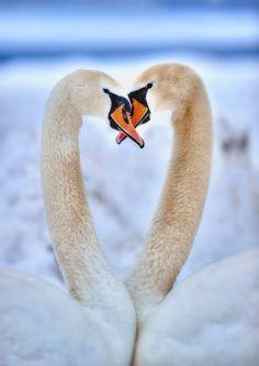 """drxgonfly: """"(via 500px / 2 Swan by Yusuf Gurel) """""""