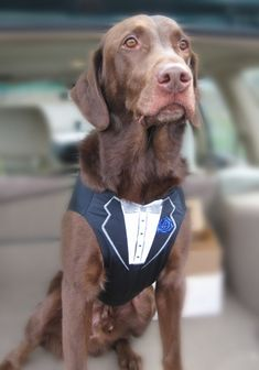 adorable #wedding attire accessories for the little ones in the wedding dogs best man tux vest