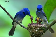 Black-naped Blue Flycatcher - tropical S.Asia from India and Sri Lanka,E. toIndonesiaand Philippines