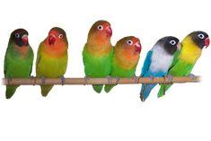 Agapornis fisher Peso: 45-50  g. Coloracion:el cuerpo es verde brillante, con las alas verde oliva y el pecho amarillento. La cara es naranja, con la zona de el píleo marronaceo. El anillo periocular bien marcado y blanco. El pico es de rojo. Las patas son grises. Los individuos jóvenes presentan los colores más apagados  y el pico negruzco. Se alimenta de semillas de gramíneas, mijo, maíz, bayas y frutos variados .