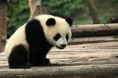 How to Survive Google's Pending Panda Update Panda Panda, Panda Love, Cute Panda, Panda Bears, Polar Bears, Zoo Animals, Cute Animals, Panda Facts, Animal Articles