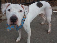 SAFE --- Manhattan Center   ROCKY - A1019344   NEUTERED MALE, WHITE / BR BRINDLE, PIT BULL MIX, 3 yrs STRAY - STRAY WAIT, NO HOLD Reason STRAY  Intake condition EXAM REQ Intake Date 11/01/2014, From NY 10027, DueOut Date 11/03/2014,  https://www.facebook.com/photo.php?fbid=901846713161542