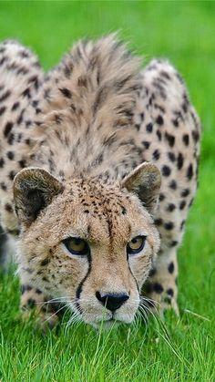 cheetah, grass, hunting, pose, lurk, big cat, spotted
