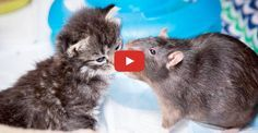 Click to see two rodents that are employed to help rescued kittens!