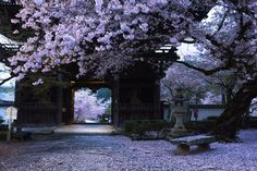 https://flic.kr/p/s3zNM7 | Rain in April | 5:37a.m. chilly rain scattered blossoms of the quiet temple in the morning. Taken at Kokawadera temple(粉河寺), Wakayama prefecture.