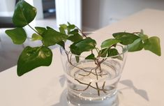 How To Propagate Ivy In Water - Step By Step Guide - Smart Garden Guide English Ivy Indoor, Ivy Plant Indoor, English Ivy Plant, Ivy Plants, Water Plants, Cool Plants, Potted Plants, Peacock Plant, House Plant Care