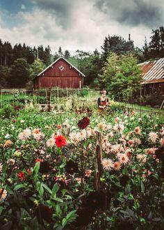 350 knölar – Dahliafrossa hos Marie på Håkesgård – Krickelins - All For Garden Garden Care, The Secret Garden, Garden Cottage, Annual Plants, Flower Farm, Plantation, Balcony Garden, Front Yard Landscaping, Dream Garden
