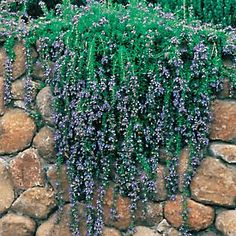 rosemary irene ; hot, dry locations, drought resistant (planter)