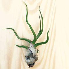 Tillandsia bulbosa air plant - small, easy care, bloom for sale online Unique Plants, Exotic Plants, Small Plants, Air Plants, Indoor Plants, Indoor Outdoor, Garden Plants, Office Plants, Deep Purple