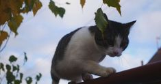 Cat balancing on a fence video Fence, Cats, Animals, Gatos, Animales, Animaux, Animal, Cat, Animais