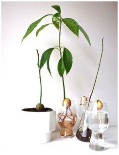 Sådan bliver avokado-stenen til en flot plante | Tina Dalbøges kreative påfund | Bloglovin'