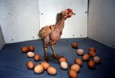 Buy organic eggs (free range is not a difficult enough rating to attain) battery hens are starved to make them lay more eggs even though they are too weak to stand...