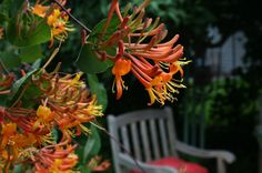 A colorful drought-tolerant vine that also smells delicious and attracts hummingbirds and butterflies, this hardy Honeysuckle vine also create shade and privacy on the back patio.