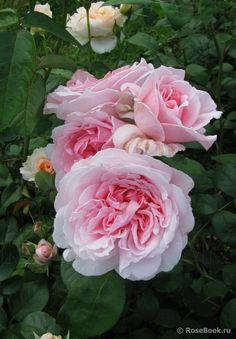 'Eglantyne'   David Austin English Rose. Austin 1985