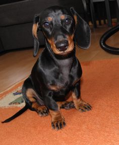 Neska of The Five Hills Jamnik miniaturowy krótkowłosy. Miniature dachshund.